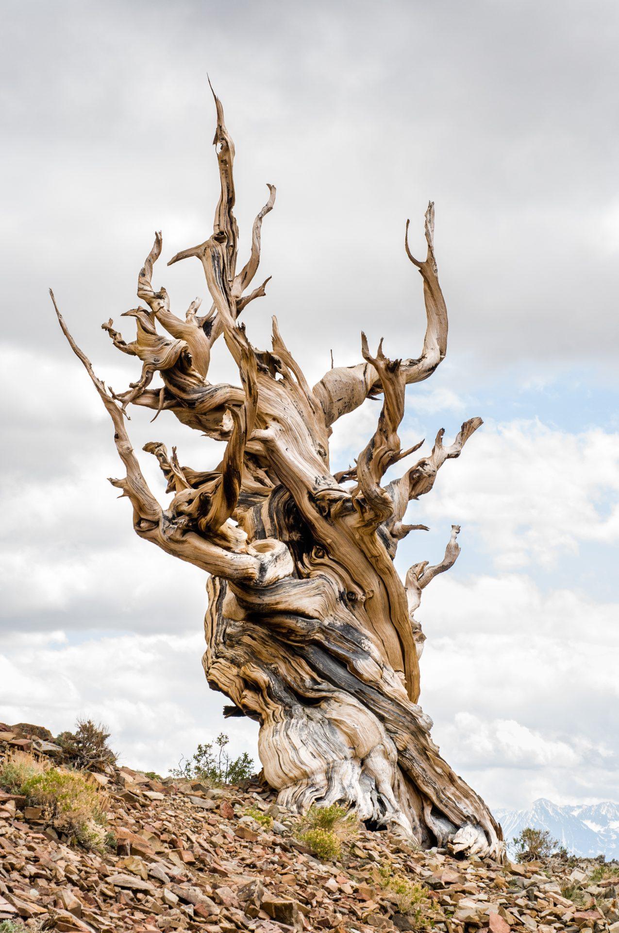 Bristlecone Pine scaled