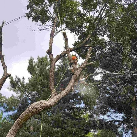 Tree Trimming | Gallery | Front Range Arborists | Colorado Arborists