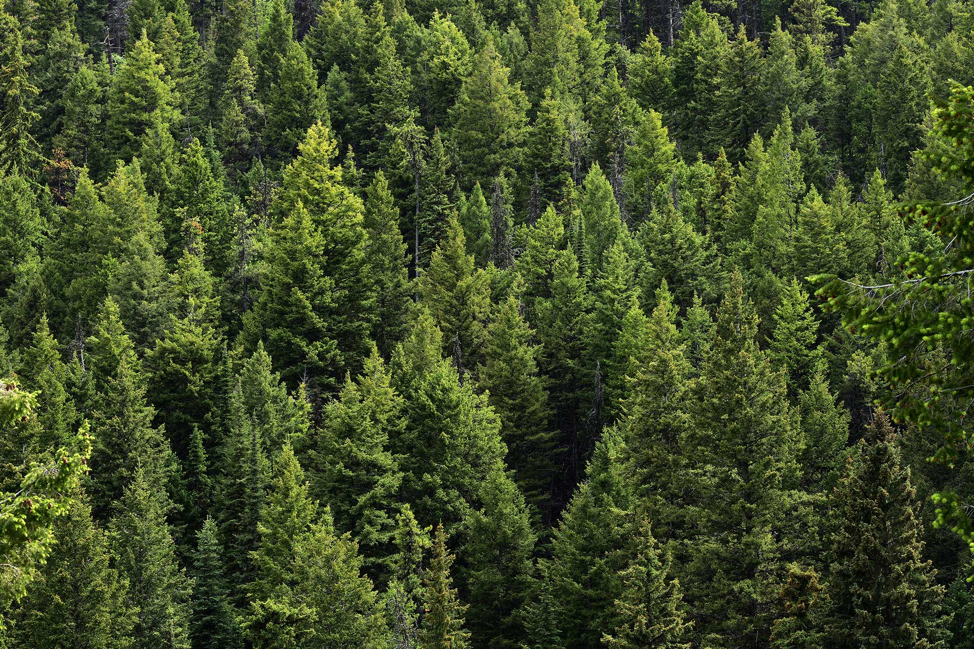 Why Plant Evergreen Trees | Blog | Front Range Arborists