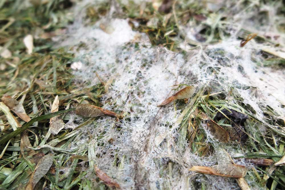Snow Mold and How to Manage It | Blog | Front Range Arborists