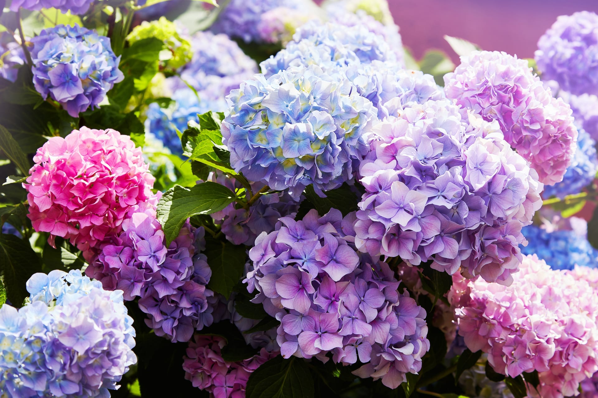 Hydrangeas, a flower that does well in the shade