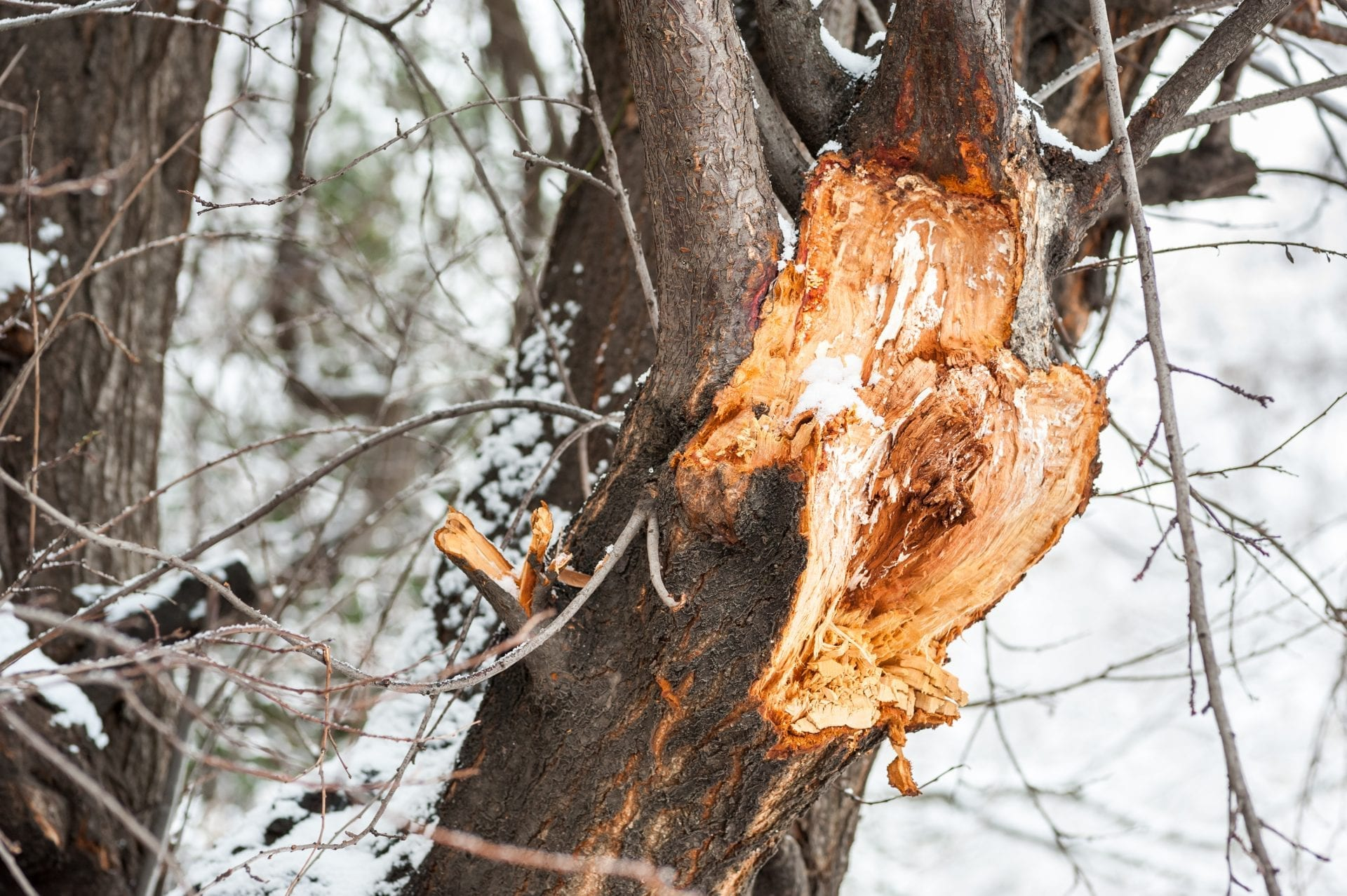 Are Your Trees Damaged From Winter? | Blog | Front Range Arborists
