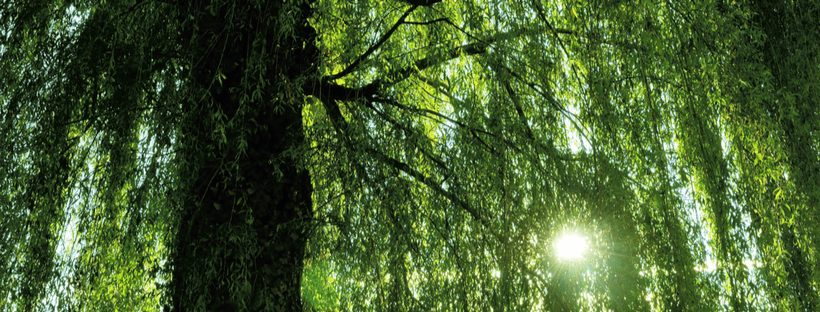 The troublesome willow trees