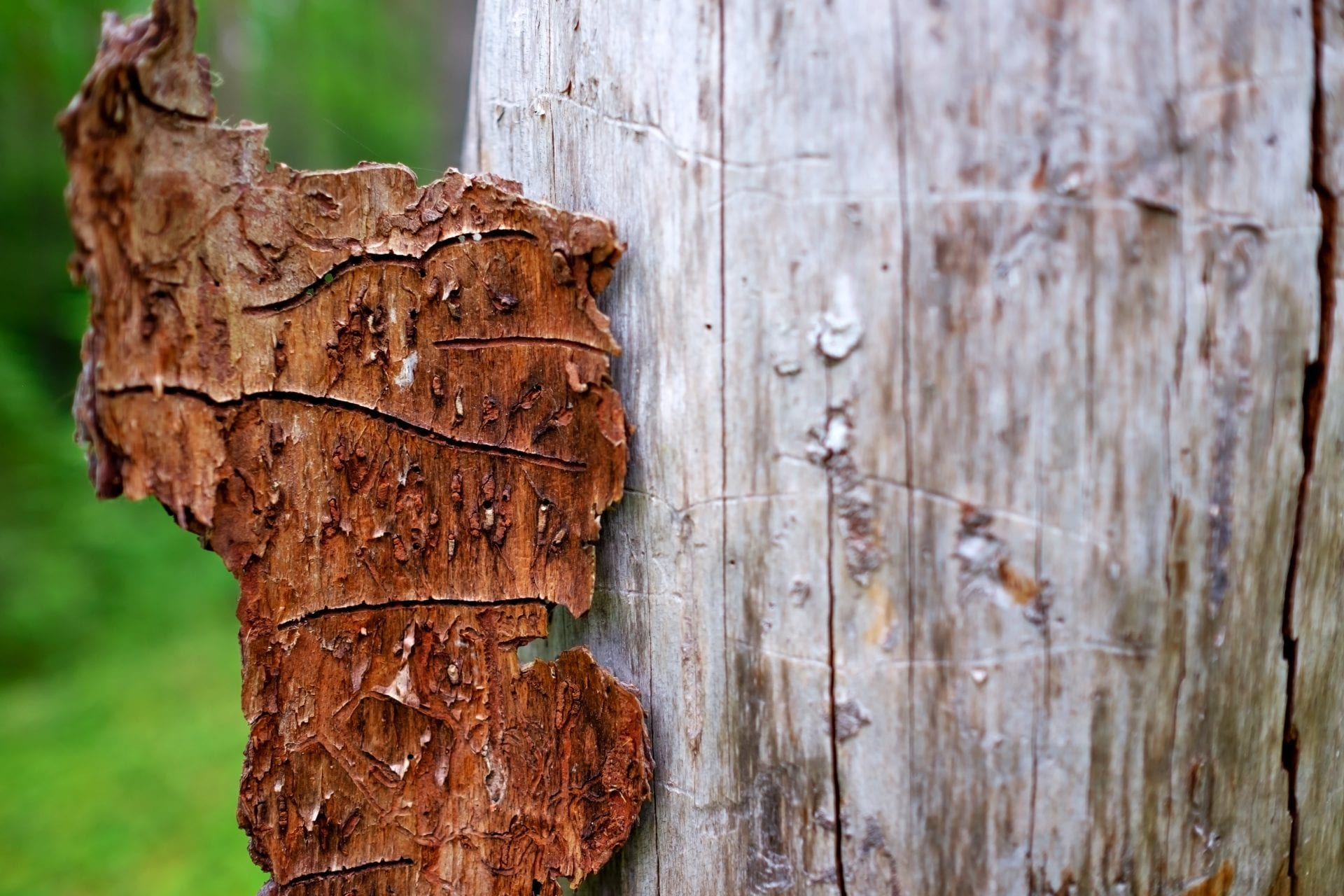 Preventative Spraying For Bark Boring Beetles | Blog | Front Range Arborists